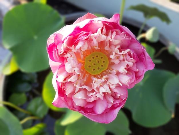 Feche acima da vagem da flor de lótus