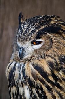 Feche acima da vista da águia-coruja euro-asiática (bubão do bubão).