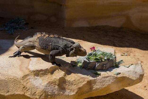Feche acima da vista da iguana no zoológico. horário de verão.