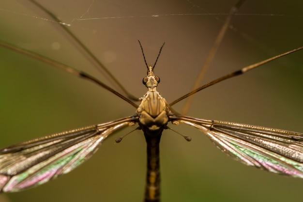 Feche acima da vista de um inseto da mosca de guindaste.