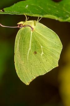 Feche acima da vista do inseto bonito da borboleta de gonepteryx cleopatra.