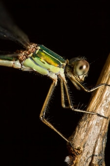 Feche acima da vista do inseto bonito do damselfly do sul da esmeralda (barbarus de lestes).