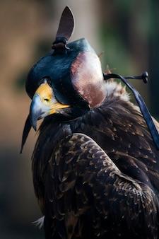 Feche acima da vista do pássaro de um falcão de harry com uma capa de couro.