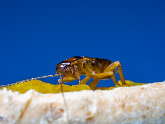 Feche acima das baratas estão comendo o doce amarelo no pão, as palavras azuis do fundo.
