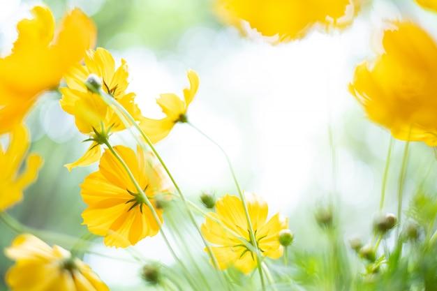 Feche acima das flores amarelas do cosmos