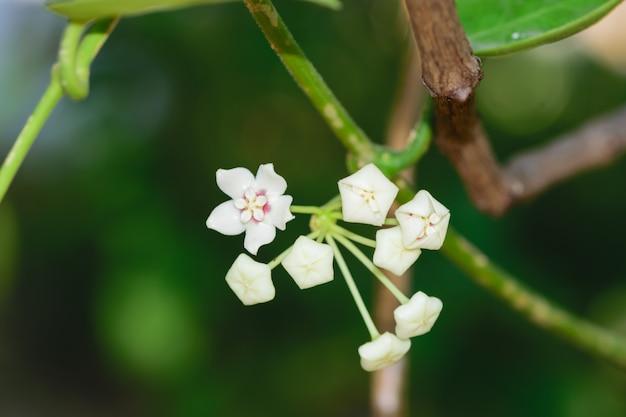 Feche acima das flores brancas do ho-ya no fundo verde.