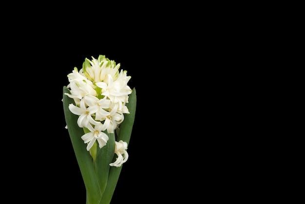 Feche acima das flores brancas do jacinto isoladas no preto