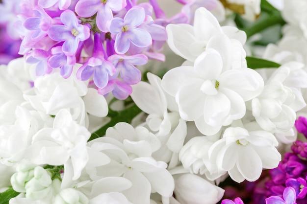Feche acima das flores brancas e cor-de-rosa do liliac.