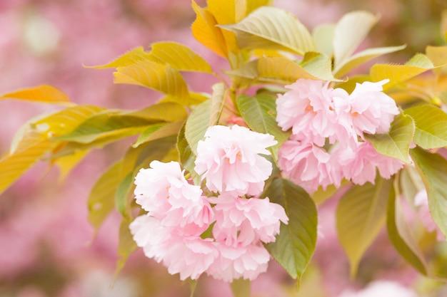 Feche acima das flores cor-de-rosa bonitas de sakura na manhã. flor de cerejeira