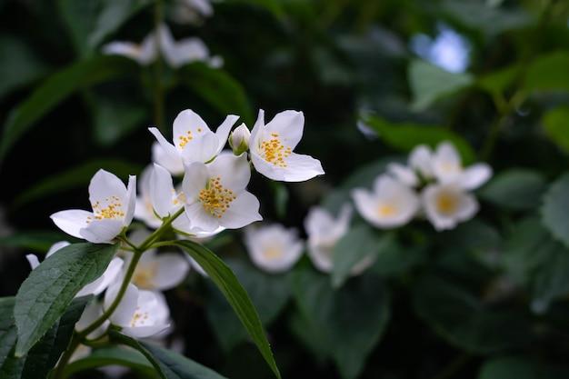 Feche acima das flores do jasmim em um jardim.