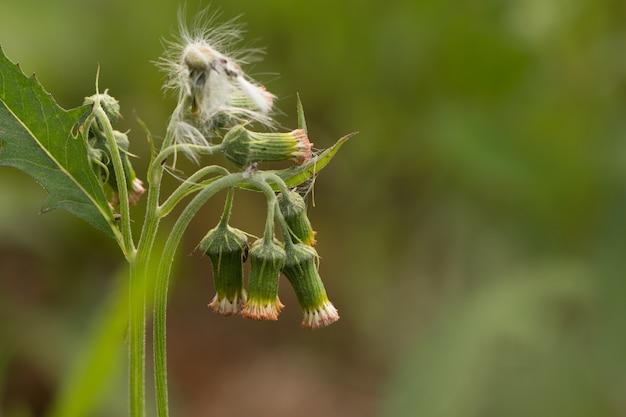 Feche acima das flores do prado branco na flor do campo ou da grama