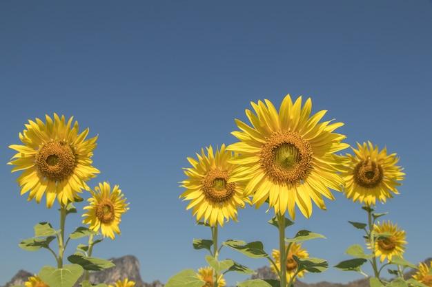 Feche acima das flores do sol e do céu azul. flores amarelas bonitas nos campos.