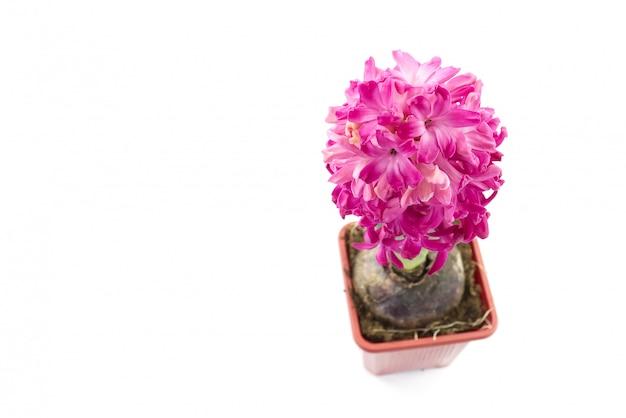 Feche acima das flores jacintos cor-de-rosa isoladas no branco