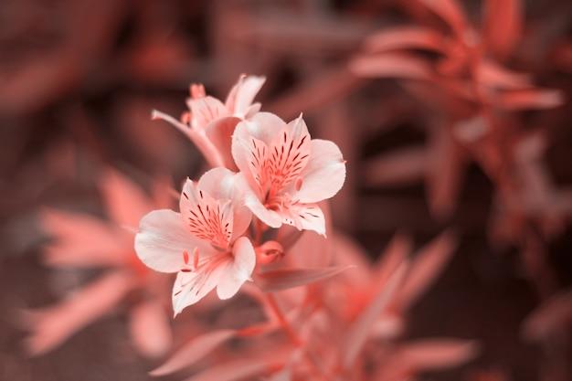 Feche acima das flores tonificadas na cor coral viva