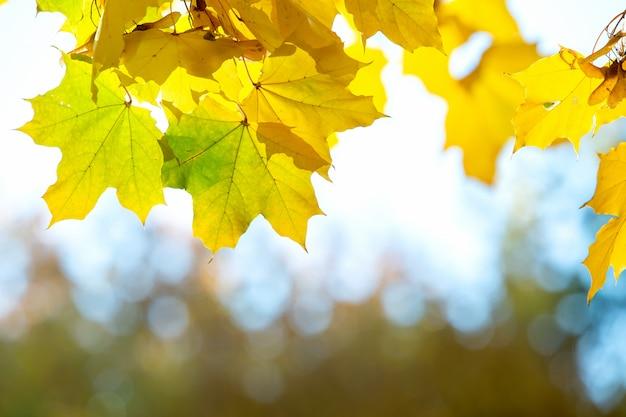 Feche acima das folhas de bordo amarelas e vermelhas brilhantes em galhos de árvores da queda com fundo borrado vibrante no parque do outono.