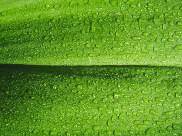 Feche acima das folhas verdes com gotas de água após chover de manhã.