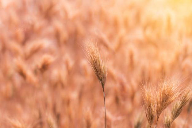 Feche acima das hastes da semente da grama no prado no por do sol.