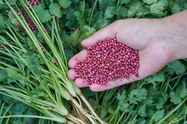 Feche acima das mãos tailandesas da mulher que guardam a alta qualidade de sementes de coentro secadas.