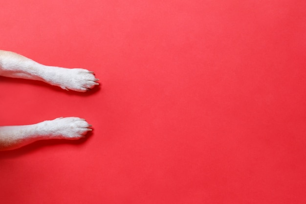 Feche acima das patas brancas de um cão, isoladas no fundo vermelho