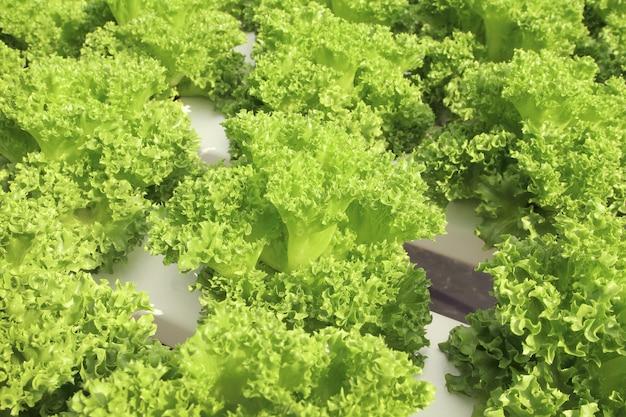 Feche acima das plantas da alface que crescem no jardim, vegetal hidropônico verde fresco.