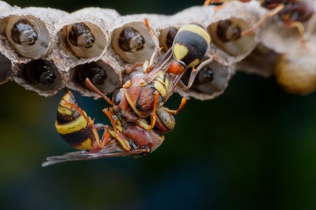 Feche acima das vespas que constroem e que protegem as larvas no ninho