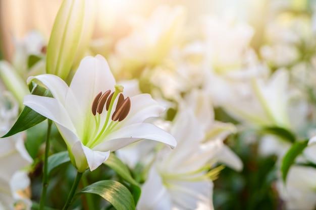 Feche acima de lilly branco que floresce no jardim.