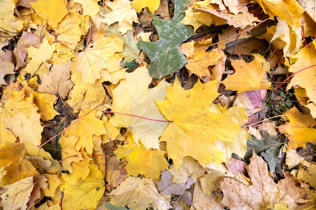 Feche acima de muitas folhas amarelas caídas que cobrem a terra no parque do outono.