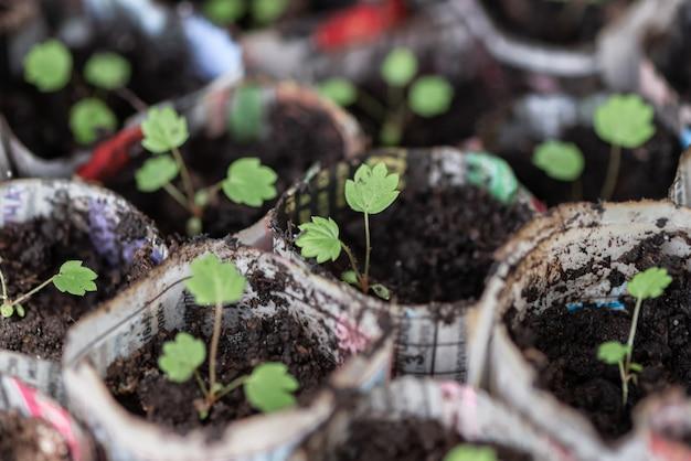 Feche acima de plântulas verdes em uns potenciômetros de papel. conceito de jardinagem em casa