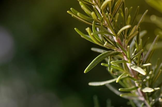 Feche acima de rosemary herb cresça ao ar livre. alecrim folhas frescas orgânicas no fundo da natureza