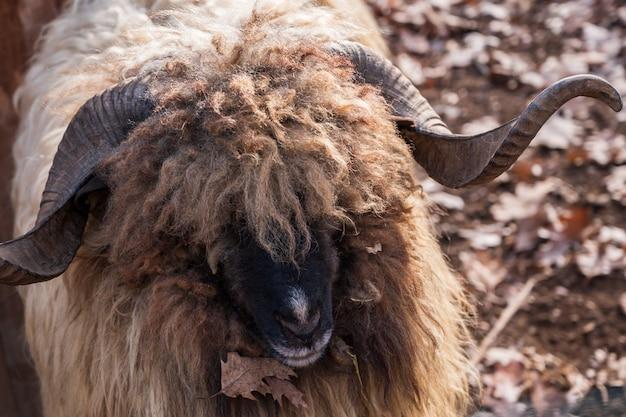 Feche acima de um carneiro de veado selvagem