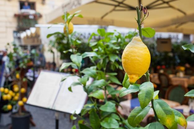 Feche acima de um limão fora de um restaurante em sorrento.
