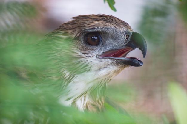 Feche acima de um olho do falcão.