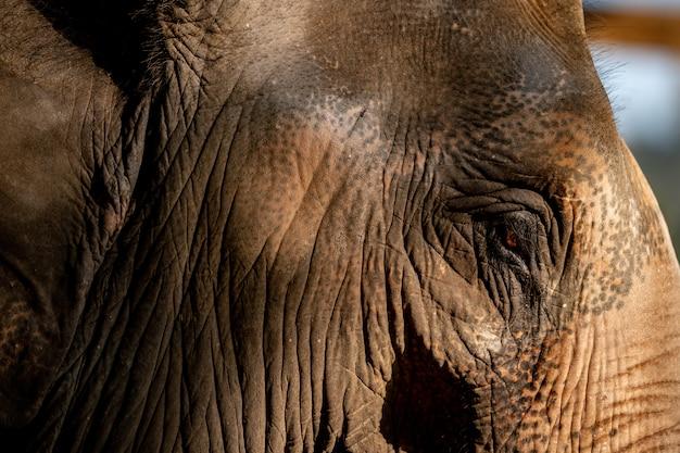Feche acima de uma cara de elefantes.