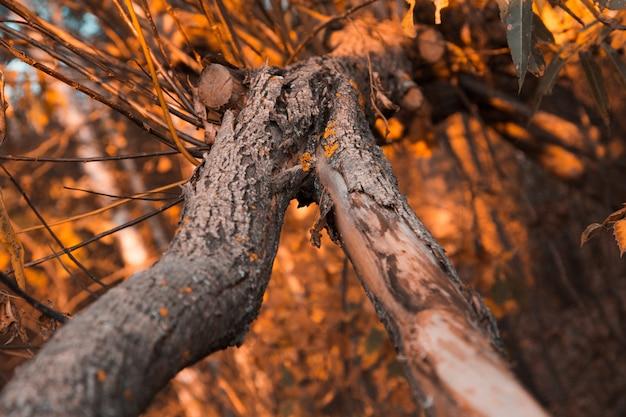 Feche acima de uma casca de árvore velha na da floresta do outono.
