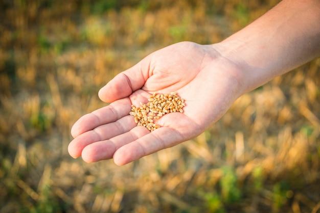 Feche acima de uma mão que guarda sementes do trigo.