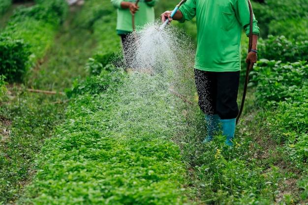 Feche acima do agricultor asiático regando o broto vegetal com tubo de borracha nos campos.