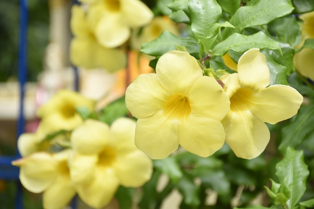 Feche acima do allamanda amarelo floresce moluscos na cerca na frente da casa.