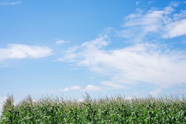 Feche acima do campo de milho no campo. muitos jovens de milho cultivados para venda. espaço da cópia