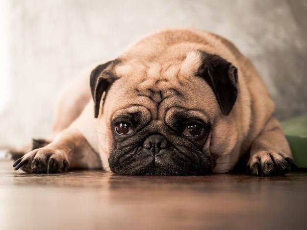 Feche acima do cão bonito do pug que encontra-se para baixo no assoalho de madeira em casa.