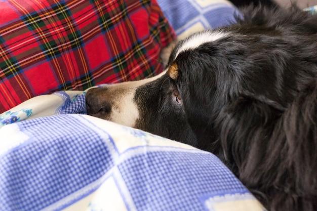 Feche acima do cão de montanha de bernese. hora de dormir. o cão está dormindo na cama do ser humano.