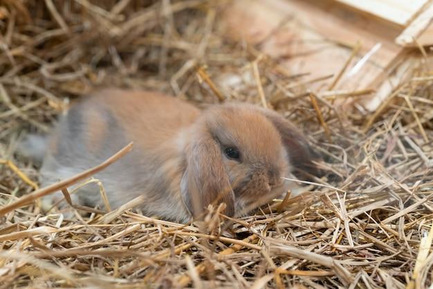Feche acima do coelho marrom bonito (holland lop - raça do coelho doméstico) em uma palha.