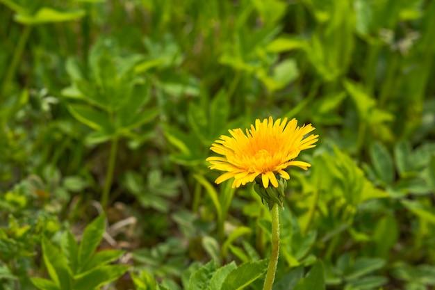 Feche acima do dente-de-leão amarelo de florescência floresce o taraxacum officinale no jardim no tempo de mola.