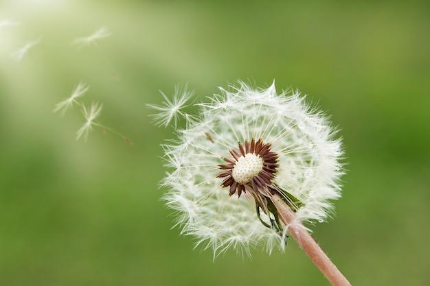 Feche acima do dente de leão com sementes que voam sobre um fundo verde