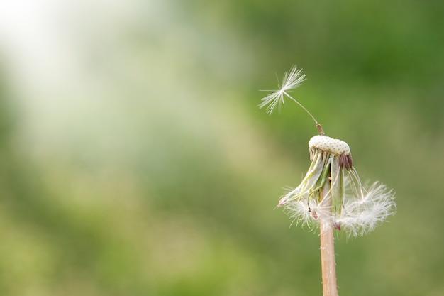 Feche acima do dente-de-leão com uma semente em um fundo verde