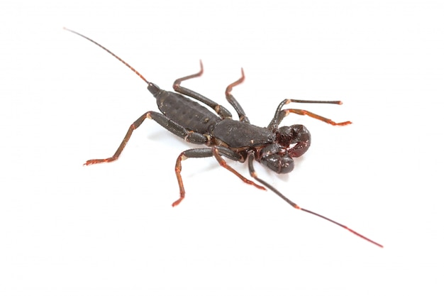 Feche acima do escorpião de chicote ou vinegarroon (mastigoproctus giganteus) no fundo branco