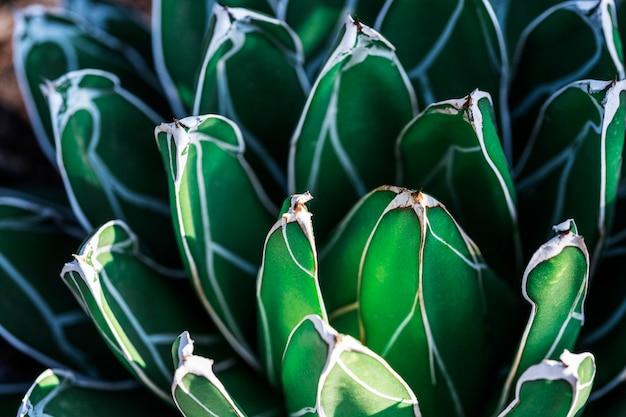 Feche acima do fundo da textura da folha da agave