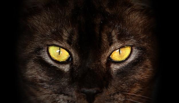 Feche acima do gato preto sério com os olhos amarelos na obscuridade.