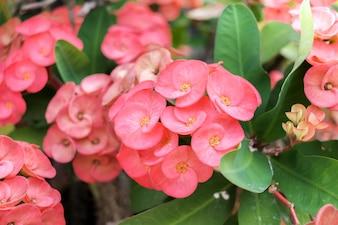 Feche acima do milii cor-de-rosa do eufórbio nas flores bonitas do jardim home.
