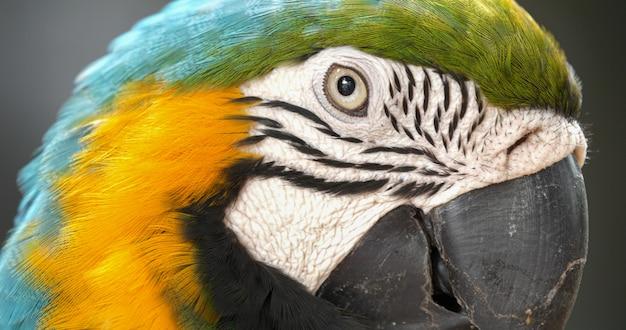 Feche acima do papagaio colorido da arara do escarlate.