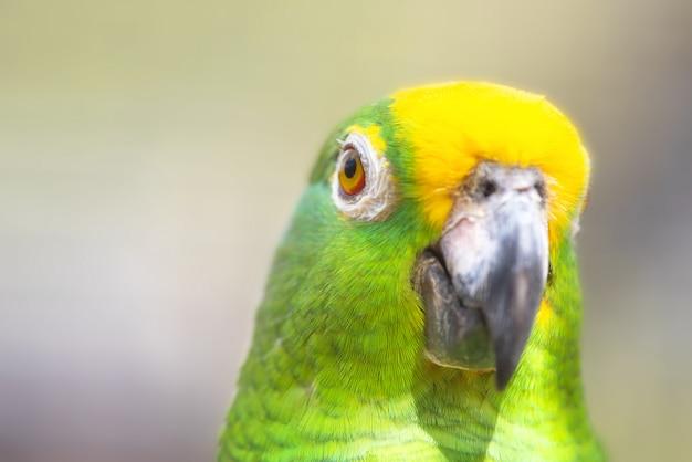 Feche acima do papagaio coroado amarelo de amazon.